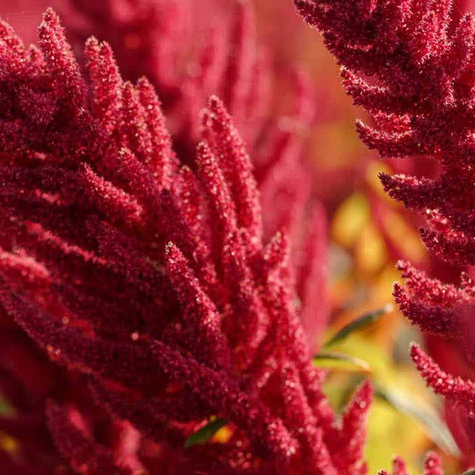 Amaranth Planting and Harvest